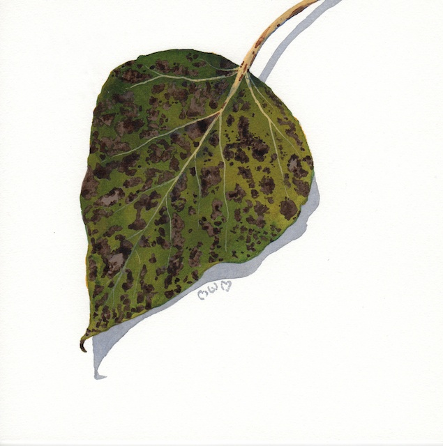 poplar leaves 4 - 2013-10-16 at 14-52-36