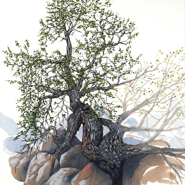 joshua tree - turbinella oak - 2014-01-22 at 10-43-32