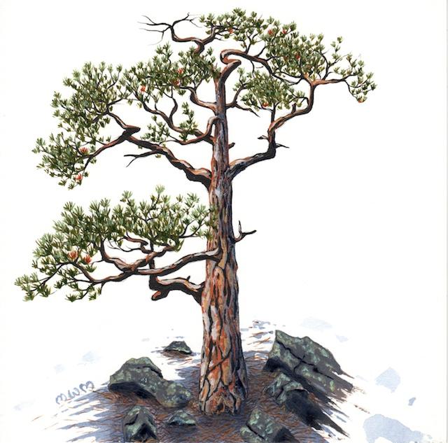 ponderosa pine 1 - 2014-03-14 at 16-42-33