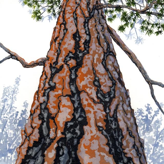 ponderosa pine 12 - 2014-03-14 at 15-31-57