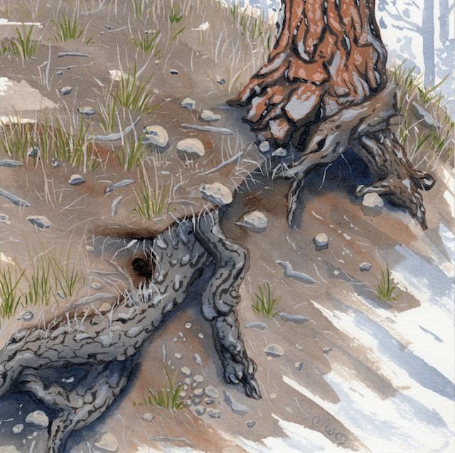 ponderosa pine 15 - 2014-03-14 at 15-13-06
