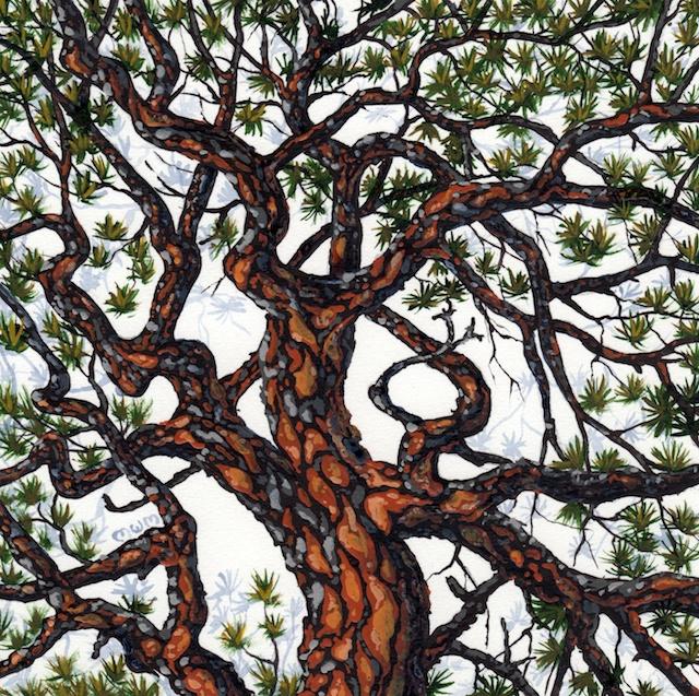 ponderosa pine 16 - 2014-03-14 at 15-04-52