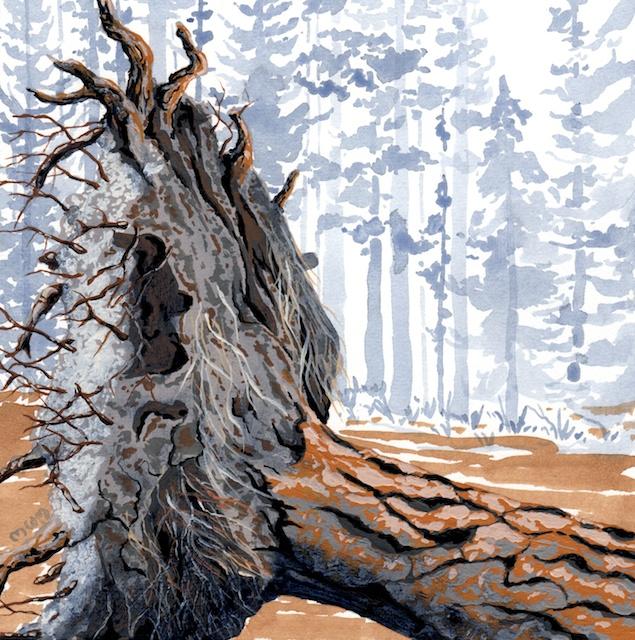ponderosa pine 18 - 2014-03-14 at 14-54-31