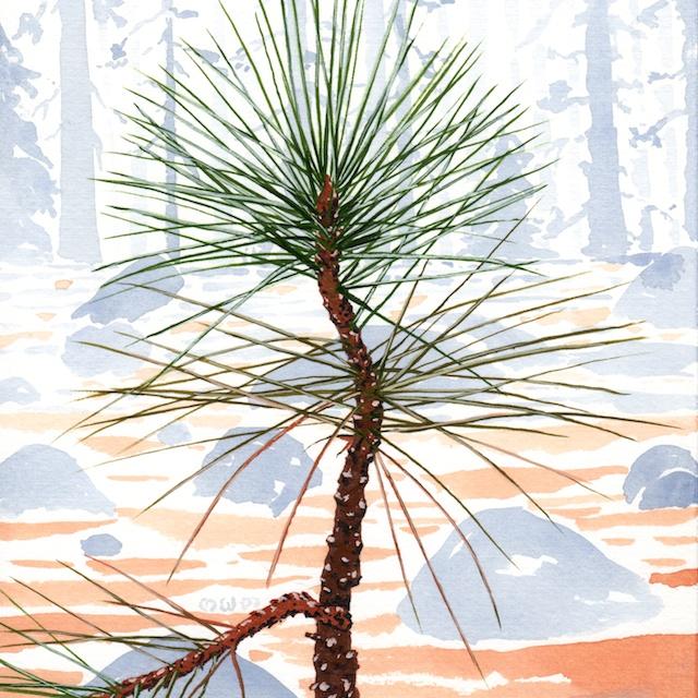 ponderosa pine 19 - 2014-03-14 at 14-48-49