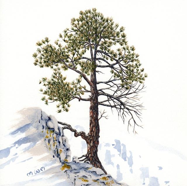 ponderosa pine 2 - 2014-03-14 at 16-38-16