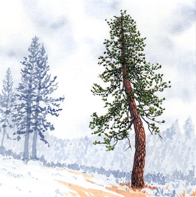 ponderosa pine 24 - 2014-03-14 at 14-10-35