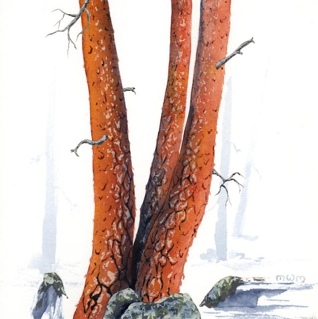ponderosa pine 3 - 2014-03-14 at 16-34-12