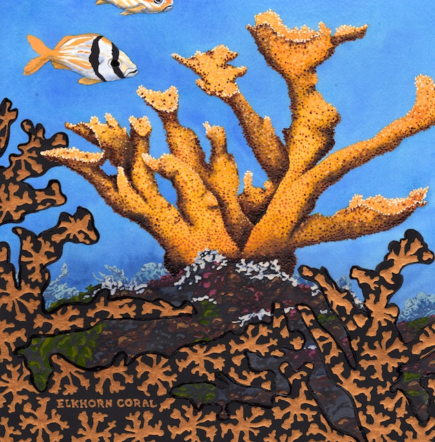 """Elkhorn Coral, 12"""" X12"""", acrylic on paper, 2015, Mark W. McGinnis"""